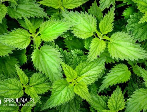 Pokrzywa – pospolita roślina o ważnych właściwościach