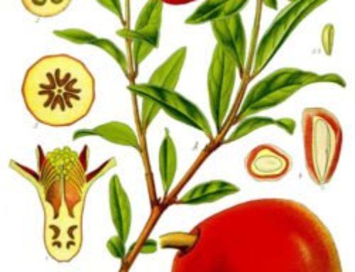 Granat (Punica Granatum)