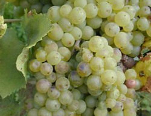 Olej z pestek winogron (Vitis vinifera)