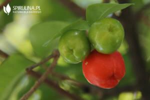 Acerola – czy to najbogatsze źródło witaminy C?