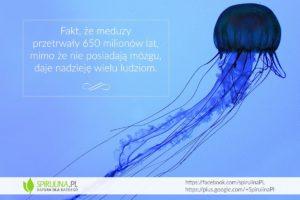 Fakt że meduzy przetrwały - Spirulina