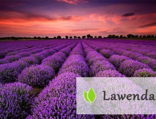 Lawenda – roślina o leczniczym działaniu