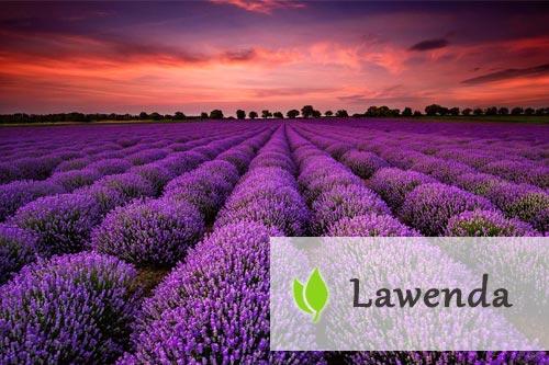 Lawenda - roślina o leczniczym działaniu