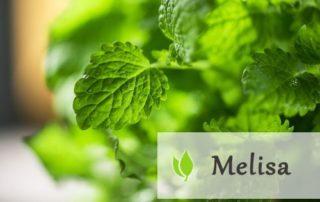 Melisa lekarska - właściwości i zastosowanie
