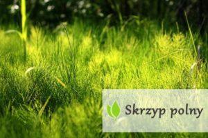 Skrzyp polny (Equisetum arvense) - właściwości i zastosowanie