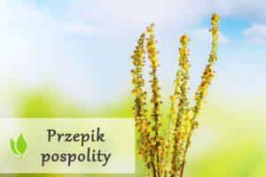 Rzepik pospolity - właściwości, zastosowanie i skutki uboczne