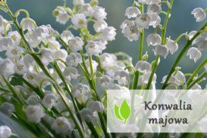 Konwalia majowa - właściwości lecznicze