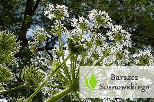 Barszcz Sosnowskiego - co warto o nim wiedzieć?