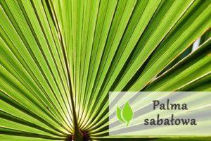 Palma sabałowa - właściwości i zastosowanie