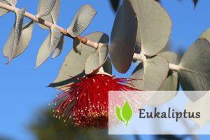 Eukaliptus - zastosowanie i właściwości lecznicze