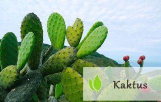 Kaktus - jakie właściwości posiada?