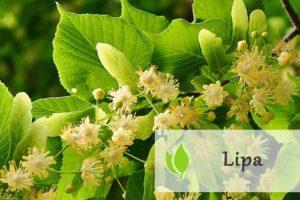 Lipa - właściwości lecznicze