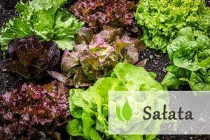 Sałata - źródło wielu witamin i minerałów