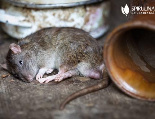 Jak pozbyć się szczurów?