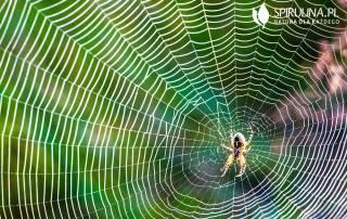 Ugryzienie pająka